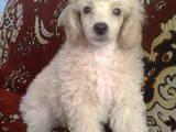 Собаки, щенята Карликовий пудель, ціна 1000 Грн., Фото
