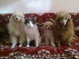 Собаки, щенки Карликовый пудель, цена 1000 Грн., Фото