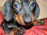 Собаки, щенята Гладкошерста мініатюрна такса, ціна 350 Грн., Фото