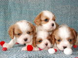 Собаки, щенки Кавалер-Кинг-Чарльз спаниель, цена 8000 Грн., Фото