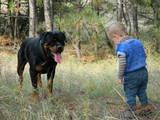 Собаки, щенята Ротвейлер, ціна 700 Грн., Фото