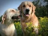 Собаки, щенки Золотистый ретривер, цена 4010 Грн., Фото