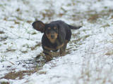 Собаки, щенки Длинношерстная миниатюрная такса, цена 10 Грн., Фото