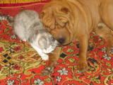 Собаки, щенки Шарпей, Фото