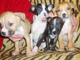 Собаки, щенки Стаффордширский бультерьер, цена 1000 Грн., Фото