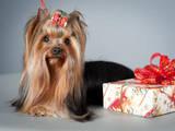 Собаки, щенки Спаривание, цена 2000 Грн., Фото