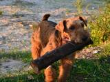 Собаки, щенята Вельштер'єр, ціна 1300 Грн., Фото
