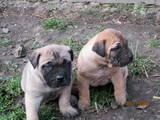 Собаки, щенки Бульмастиф, цена 1000 Грн., Фото