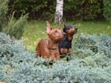 Собаки, щенята Пінчер, ціна 5000 Грн., Фото