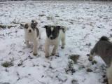 Собаки, щенята Східно-сибірська лайка, ціна 400 Грн., Фото