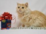 Кішки, кошенята Highland Fold, ціна 2000 Грн., Фото