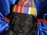 Собаки, щенята Невідома порода, ціна 23000 Грн., Фото