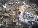 Собаки, щенки Русская борзая, цена 2500 Грн., Фото