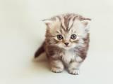 Кішки, кошенята Highland Fold, ціна 3000 Грн., Фото