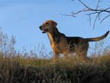Собаки, щенята Ганноверська гонча, ціна 3500 Грн., Фото