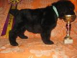 Собаки, щенята Чорний тер'єр, ціна 2000 Грн., Фото