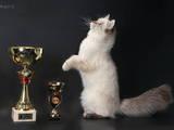 Кішки, кошенята Сибірська, ціна 3000 Грн., Фото