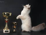Кошки, котята Сибирская, цена 3000 Грн., Фото