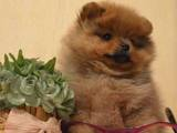 Собаки, щенята Карликовий шпіц, ціна 20000 Грн., Фото