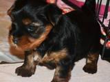 Собаки, щенята Йоркширський тер'єр, ціна 5600 Грн., Фото