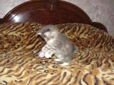 Кошки, котята Курильский бобтейл, цена 2300 Грн., Фото