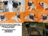 Собаки, щенки Брабантский гриффон, цена 3500 Грн., Фото