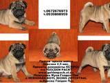 Собаки, щенята Брабантський гріффон, ціна 3500 Грн., Фото