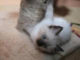 Кішки, кошенята Невськая маскарадна, ціна 500 Грн., Фото