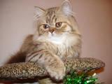 Кішки, кошенята Highland Fold, ціна 1200 Грн., Фото