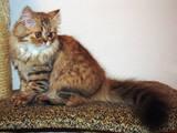 Кошки, котята Хайленд Фолд, цена 1200 Грн., Фото