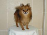 Собаки, щенки Карликовый шпиц, цена 5000 Грн., Фото