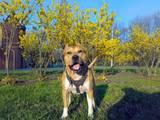 Собаки, щенки Стаффордширский бультерьер, цена 700 Грн., Фото