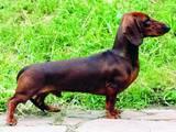 Собаки, щенята Гладкошерста кроляча такса, ціна 1000 Грн., Фото