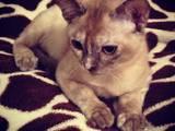 Кошки, котята Бурма, цена 2000 Грн., Фото