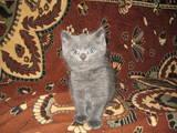 Кішки, кошенята Британська довгошерста, ціна 300 Грн., Фото