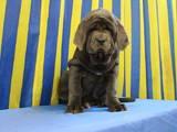 Собаки, щенки Мастино неаполетано, цена 4000 Грн., Фото