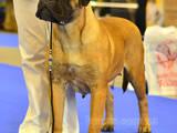 Собаки, щенки Бульмастиф, цена 8000 Грн., Фото