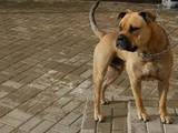 Собаки, щенки Мальоркский бульдог (Ка Де Бо), цена 100 Грн., Фото