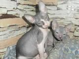 Кошки, котята Донской сфинкс, цена 1000 Грн., Фото