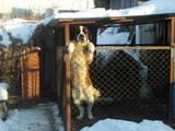 Собаки, щенки Сенбернар, Фото