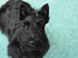Собаки, щенята Скотчтерьер, ціна 1700 Грн., Фото