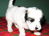 Собаки, щенки Бишон фрисе, цена 2500 Грн., Фото