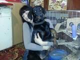 Собаки, щенки Доберман, цена 2300 Грн., Фото