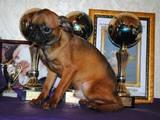 Собаки, щенята Брабантський гріффон, ціна 2500 Грн., Фото