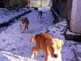 Собаки, щенята Стаффордширський бультер'єр, ціна 2200 Грн., Фото