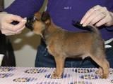 Собаки, щенята Брабантський гріффон, ціна 6000 Грн., Фото
