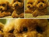 Собаки, щенята Той-пудель, ціна 7000 Грн., Фото