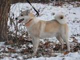 Собаки, щенки Латвийская гончая, цена 11 Грн., Фото