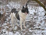 Собаки, щенята Латвійський гончак, ціна 11 Грн., Фото