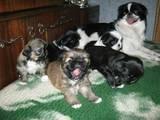 Собаки, щенки Японский хин, цена 600 Грн., Фото